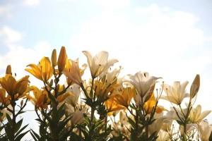 lilie pestovani