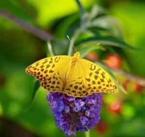 motyl na zahrade