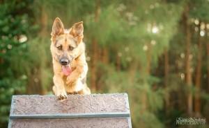 pes na prekazce
