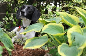 pes na zahrade