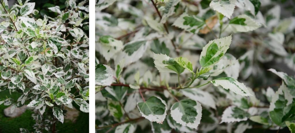 Ficus Starligh