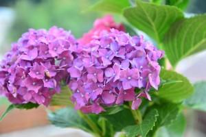 hortenzie botanicka