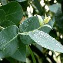 Eukalyptus nahled