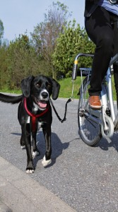 pes bezi u kola