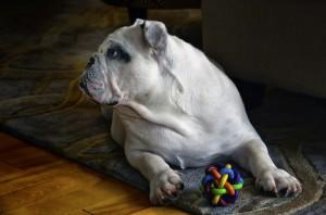 pes inteligentni hracka