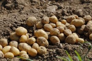brambory odrudy