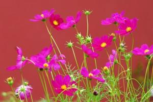 krasenka rostlina