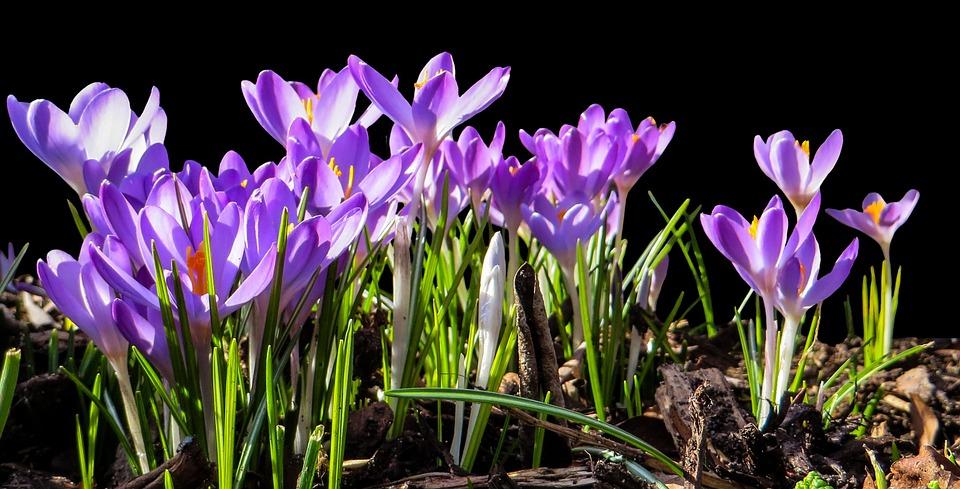 krokus jaro fialovy
