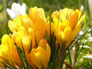 krokus jaro zluty