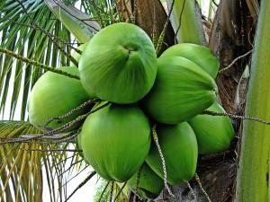 mlady kokosvy orech