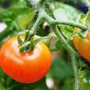 rajce jedle nahled
