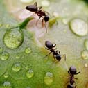 mravenci pivonky nahled