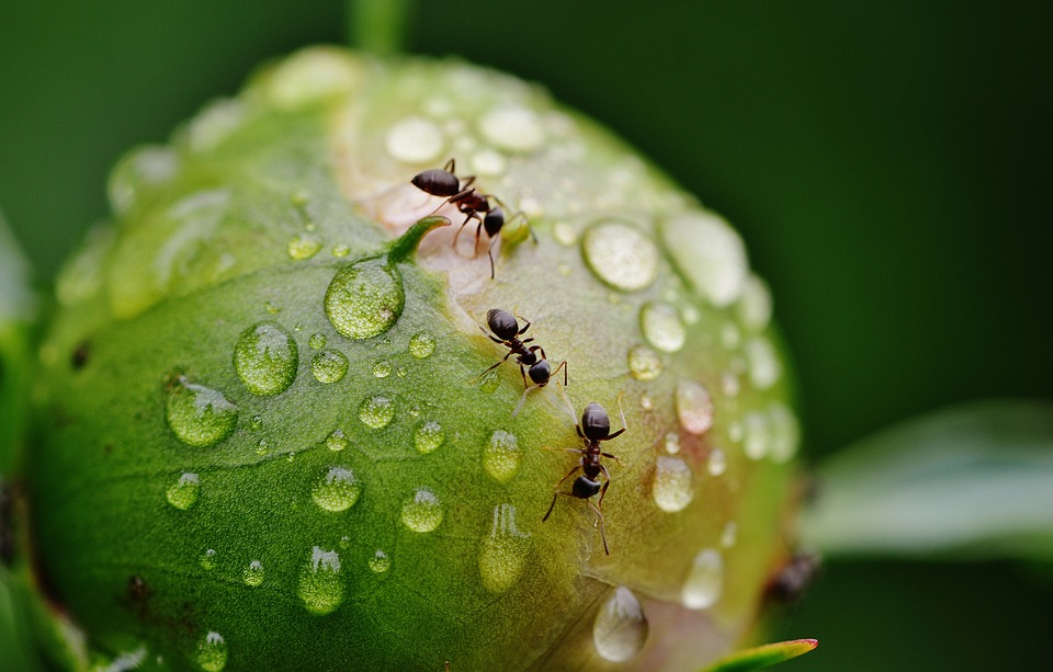 mravenci pivonky