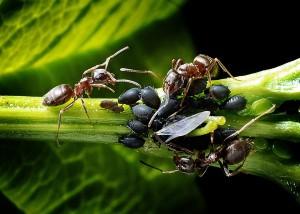 mravenci s msicemi