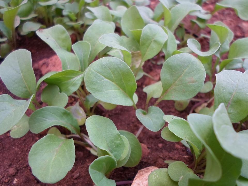 letni salat sazenice