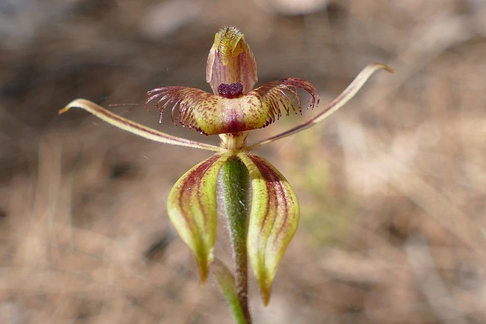 orchideje zahradni