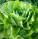 salat hlavkovy sklizen nahled