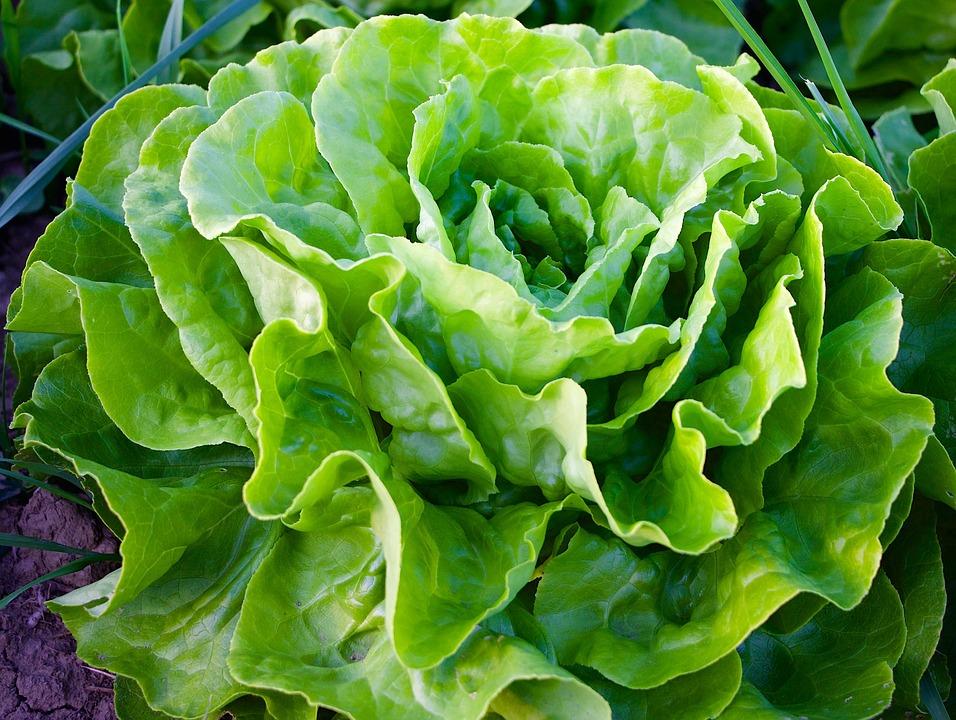 salat hlavkovy sklizen