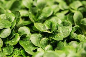 sazenice salatu