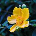drevite trezalky kvetouci ker nahled