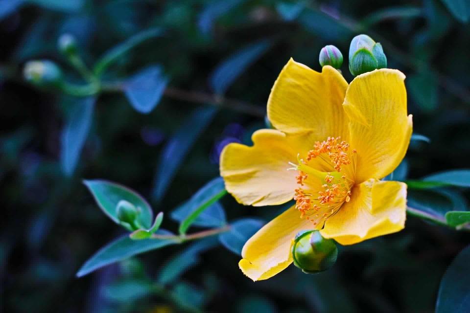 drevite trezalky kvetouci ker