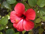 hibiscus moschutos