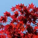 javor podzim nahled