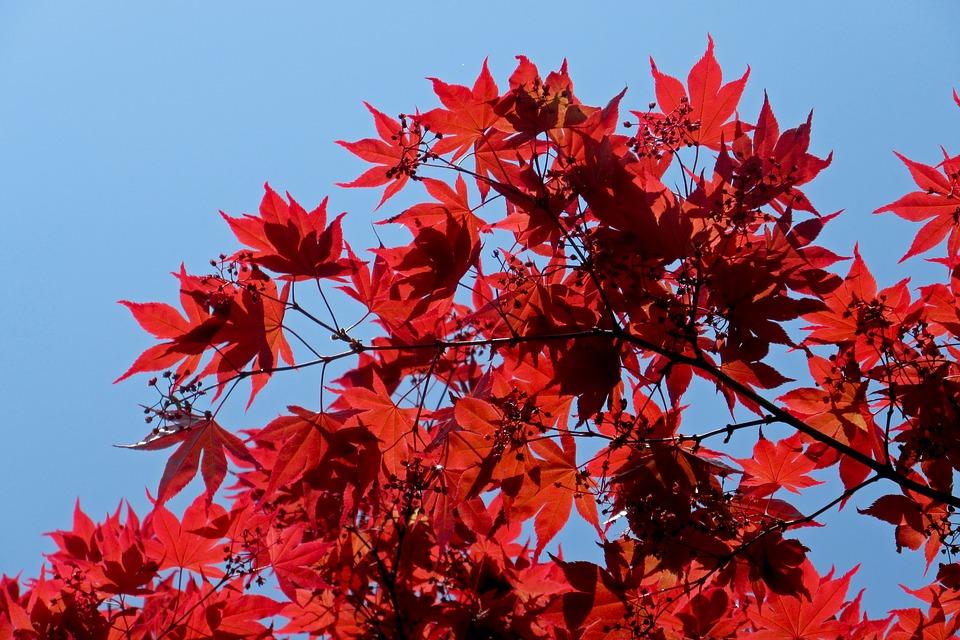 javor podzim