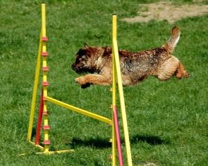 agility preskok terier