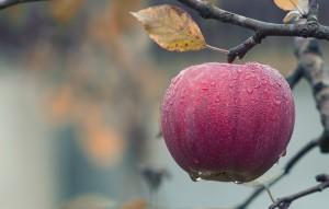 jablko rijen