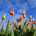 tulipany na zahonu nahled
