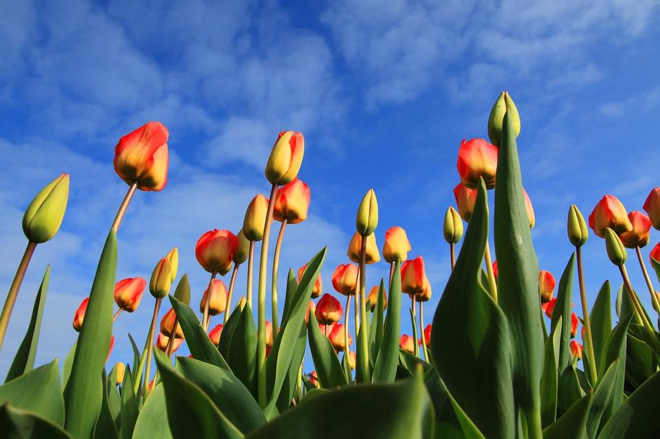 tulipany na zahonu