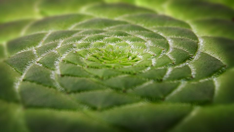 Aeonium rostlina placata