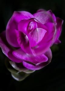 kurkuma kvet