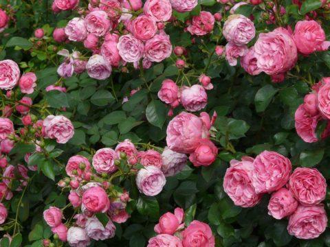 Rajčata růže ochrání od nemoci zvané černá skvrnitost.