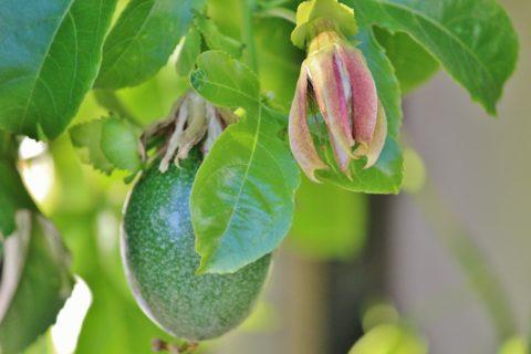 maracuja plody rostlina