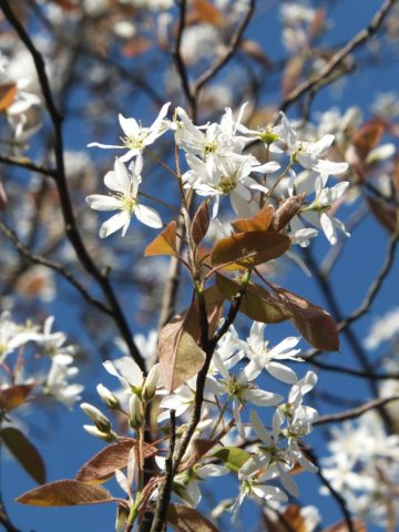 muchovnik kvet