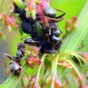 mravenci msice nahled