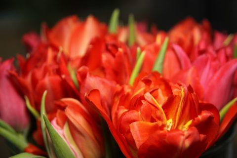 tulipany flora olomouc