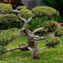 venkovni bonsaj