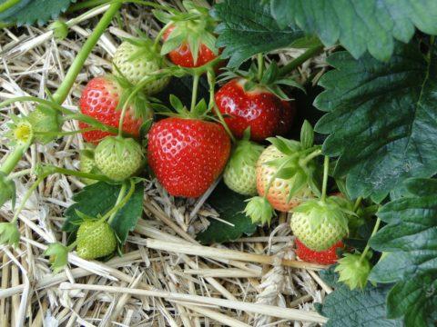 jahody odrudy