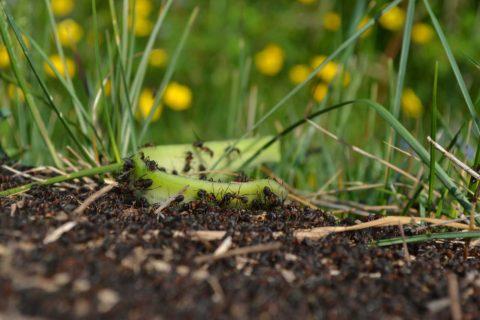 mravenci v travniku