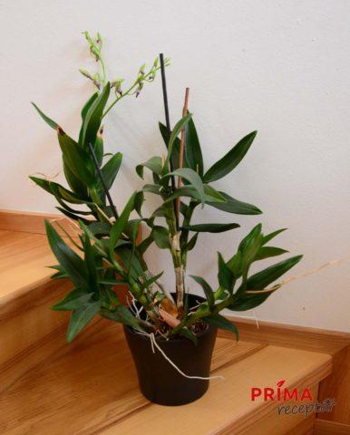 Dendrobium phalaenopsis pestovani