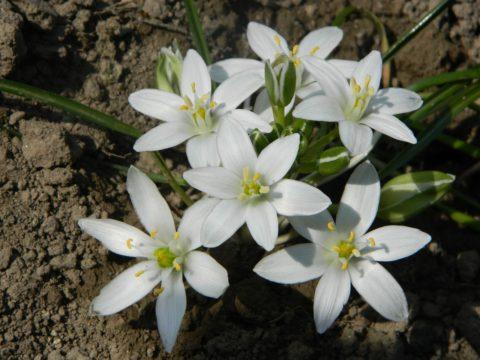 betlemska hvezda rostlina