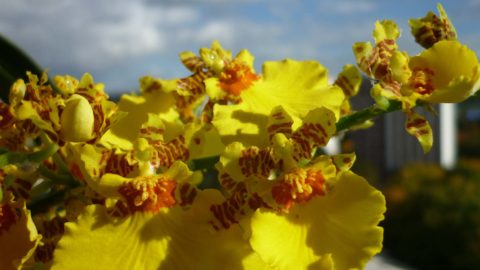 orchidej oncidium