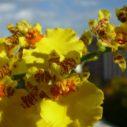 orchidej oncidium nahled