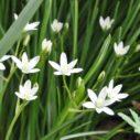 rostlina betlemska hvezda