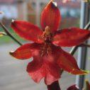 orchidej jazykovec