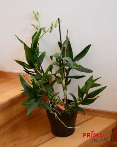 Dendrobium phalaenopsis kvetouci
