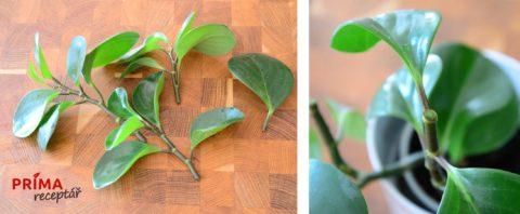 mnozeni peperomia obtusifolia